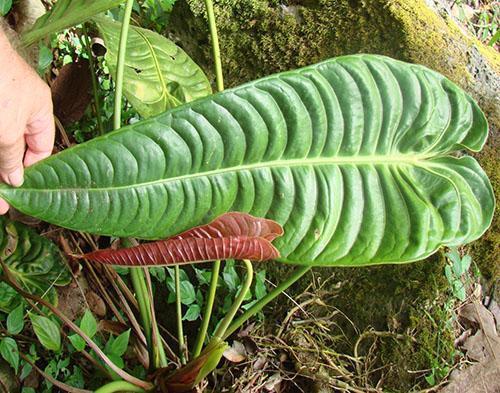 Коричневые пятна на листьях - нарушение светового и температурного режима