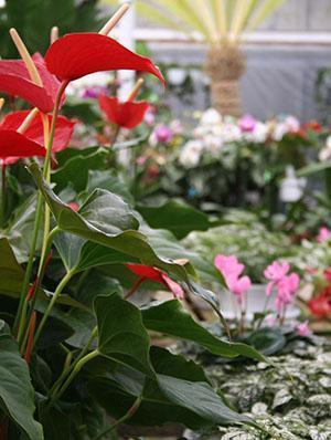 Красивым украшением интерьера антуриумы станут, если будут цвести