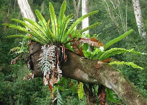 Листья гнездовидного асплениума используют в пищу