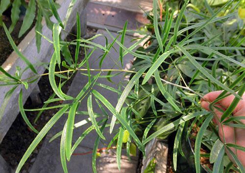Листья серповидного аспарагуса темно-зеленые, тонкие, изогнутые
