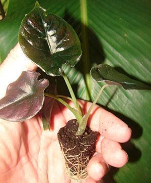 Молодое растение из дочернего клубенька