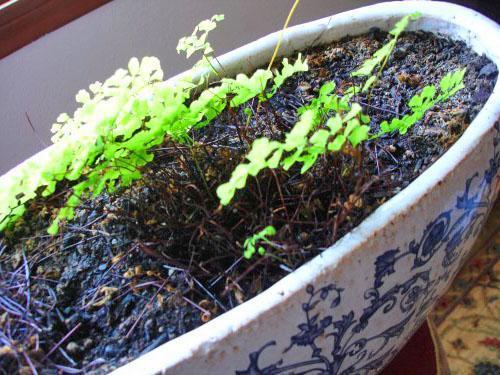 Молодой адиантум из семян