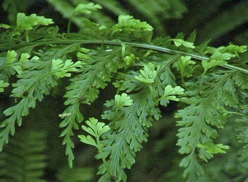 Молодую листву живородящего асплениума добавляют в салаты