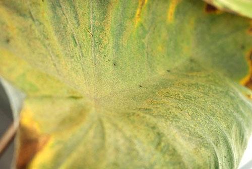 На листе поселились трипсы