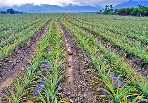 На плантациях ананасы выращивают из укорененных черешков
