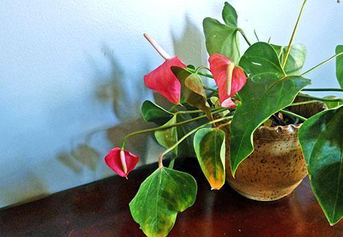 Нарушение правил ухода приводит к заболеваниям растения