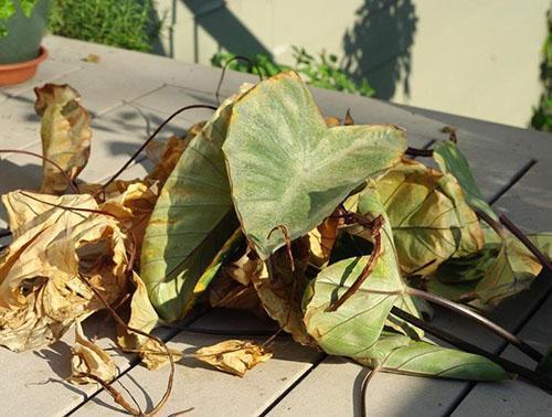 Нарушение температурного режима и влажности воздуха привело к гибели растения