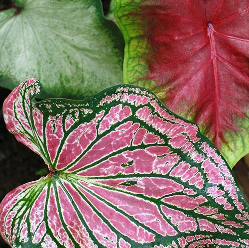 Нарядные листья каладиума