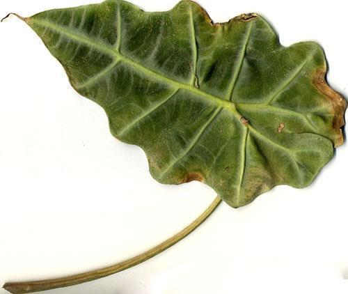Неправильный уход приводит к потере листвы