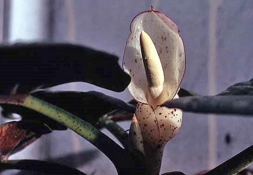 Нежный необычный цветок алоказии длиннолопастной