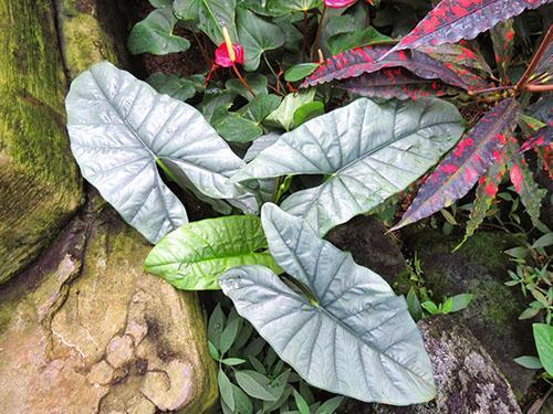 О состояния корневища алоказии зависит внешний вид растения