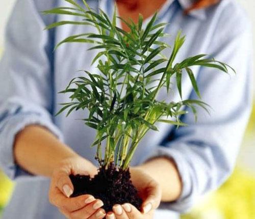 Перед пересадкой растения проверяют его на наличие болезней и вредителей