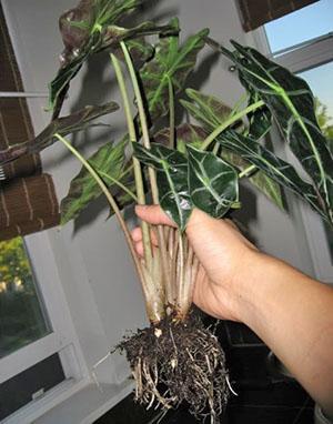 Пересадка и размножение взрослого растения