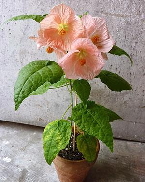 Первые цветы абутилона
