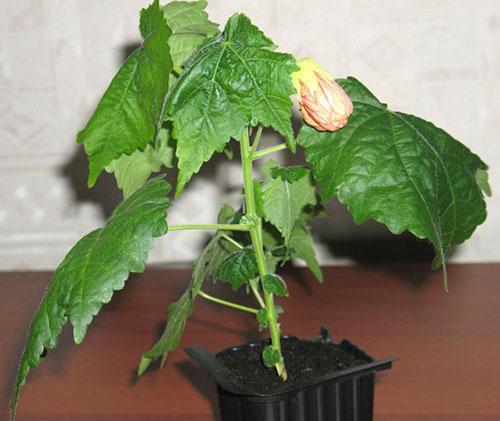 Первый цветок абутилона появится через 6 месяцев после посева