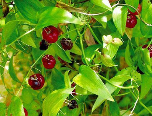 Плоды аспарагуса спаржевидного