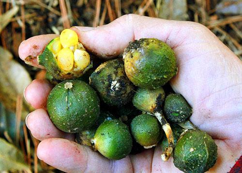 Плотный плод аспидистры, содержащий от одного до нескольких крупных семян