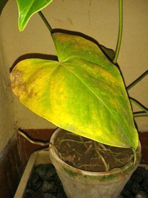 Попадая под прямые солнечные лучи растение получает ожог