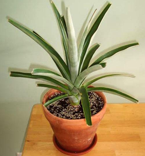 Пошел в рост новый куст ананаса