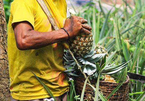 После уборки с поля у ананаса вкусовые качества не меняются