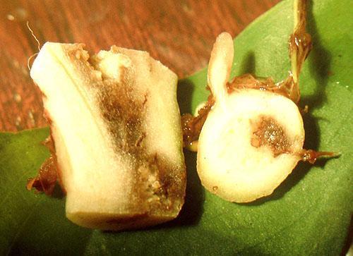 Повреждение корней приводит к гибели растения