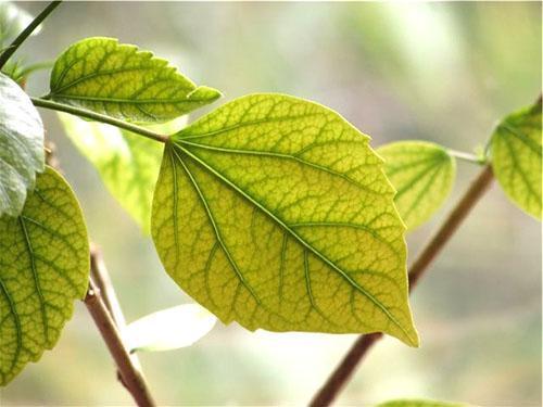 Пожелтение листвы является признаком заболевания растения