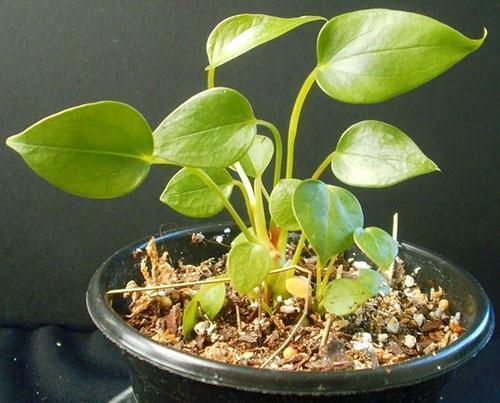При слабом развитии растение нуждается в пересадке