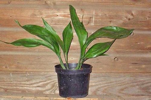 Приобретенное растение после недельного карантина пересаживают