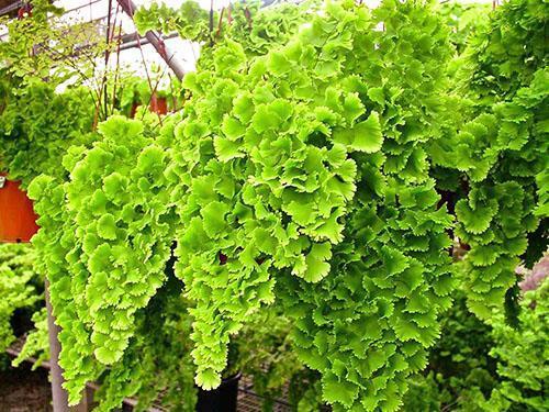 Пышные растения адиантума произрастают в Южной Америке и на востоке Азиатского региона