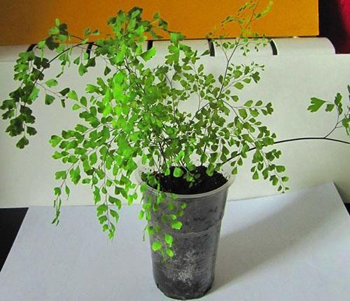 Растение хорошо развивается в глубоком и широком горшке
