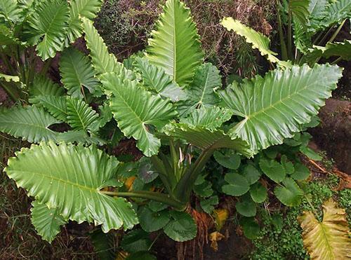 Растения алоказии portora