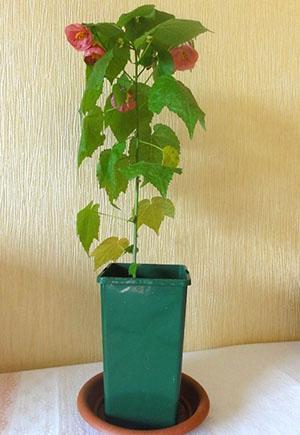 Растению не хватает влаги