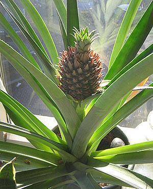 Растет комнатный ананас