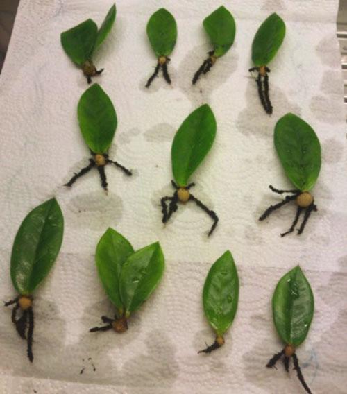 Размножение листом можно использовать для декоративно-лиственных сортов