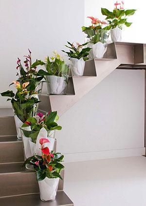 Регулярно вносимые удобрения помогут поддержать цветение антуриумов дома