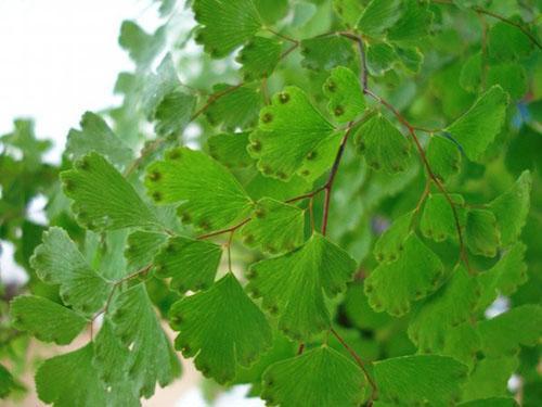 Семена адиантума развиваются в сорусах