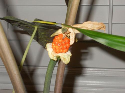 Семена алоказии пахучей