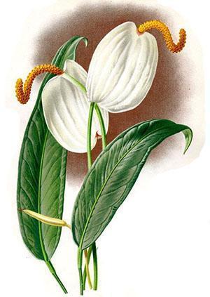 Соцветие антуриума состоит из початка и прицветника