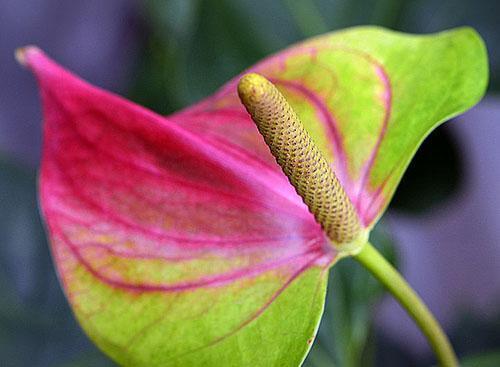 Соцветие гибрида