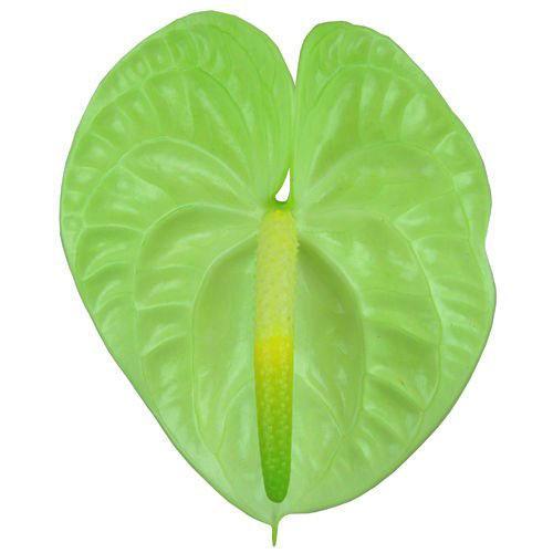 Сорт Lime Anthurium