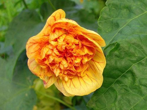 Сорт Royal ilima раскрывает желто-оранжевые цветы