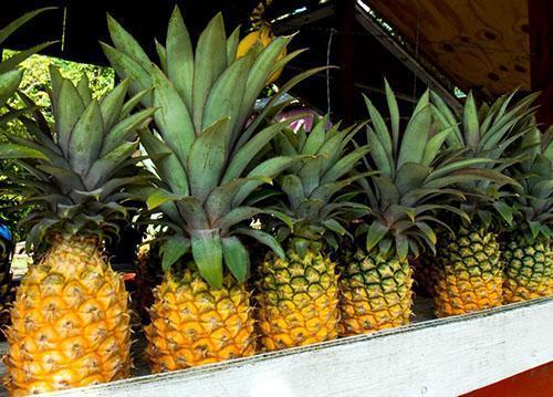 Созревать ананас начинает с донца