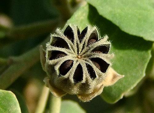 Спелые семена используют для размножения абутилона