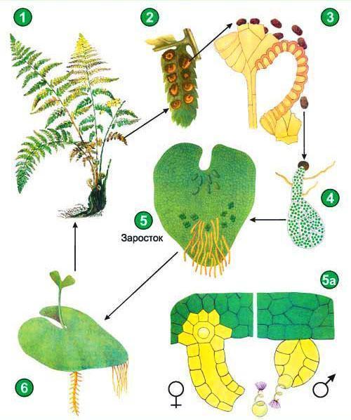 Строение и цикл развития папоротника