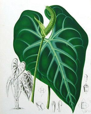 Строение растения антуриум