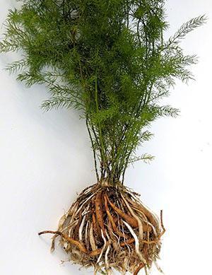 Строение растения аспарагус