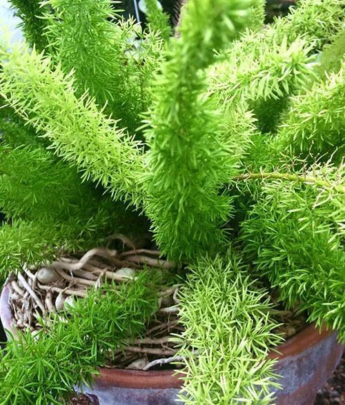 Своевременная пересадка и удаление больных корней помогут спасти растение