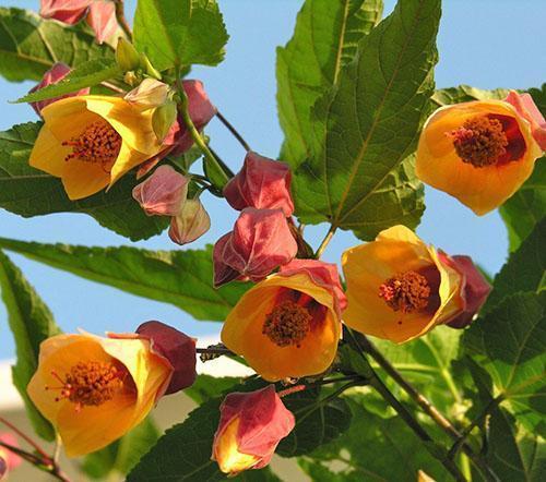 Удивительное цветение абутилона на балконе
