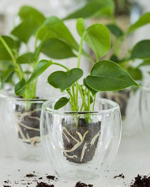 Уход за ароидными растениями