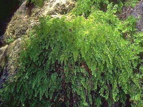 Уникальное растение адиантум